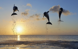dolphins_in_bay_islands