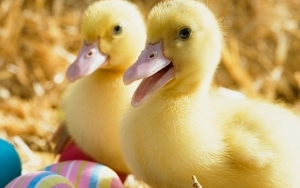 ducklings_pair